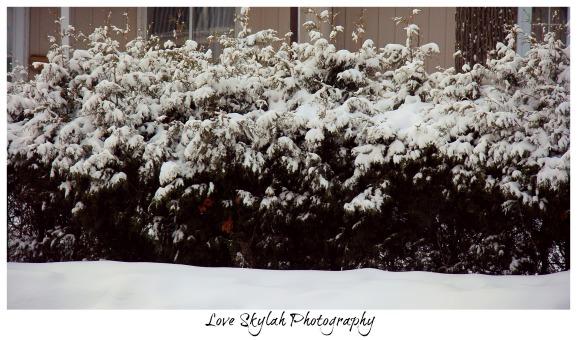 Snow Bush
